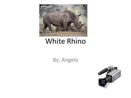 White Rhino By: Angelo. The Weight, Size, Color and Habitat The weight of the white Rhino is 4,000 to 6,000 pounds The size of the Rhino is 5 to 6 feet.