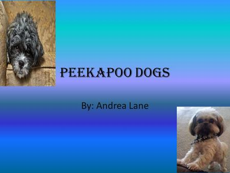 Peekapoo Dogs By: Andrea Lane. Qualities of the Peekapoo A cross between Pekingese & poodle A companion dog Very active and energetic Very smart dogs.