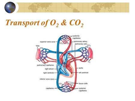 Transport of O 2 & CO 2. Transport of O 2 Oxygen in blood bound to hemoglobin (98.5%) dissolved in the plasma (1.5%) Almost all oxygen in the blood is.
