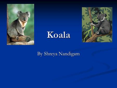 Koala By Shreya Nandigam Introduction Have you ever heard of an animal that eats poisons leaves? Come and learn all about Koalas adaptations, what they.