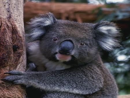 Koala Homes! This is what Eucalyptus trees look like. If you smell vaporub that is what it smells like!