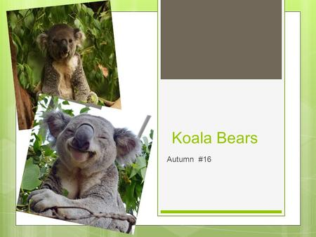 Koala Bears Autumn #16. Background ○ Koala Bear is a mammal and can live 17 years and is a marsupial.