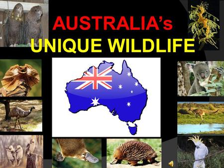 AUSTRALIA's UNIQUE WILDLIFE Why is Australia's wildlife so unique? Australia was once a part of a huge continent called Gondwana, but when this continent.