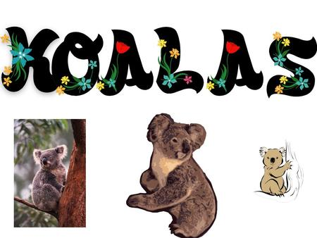 My koala questions and answers 1.Q-How many koalas are left in the world. A-Many experts say as few as 80,000 Koalas are left in the wild, while the.