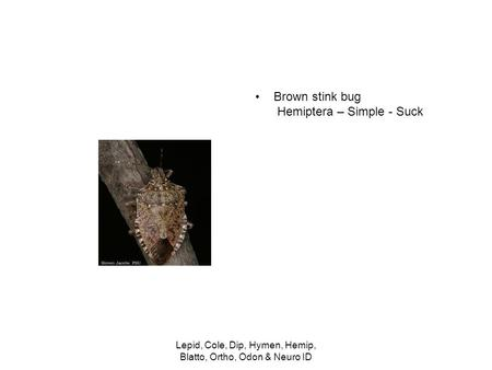 Brown stink bug Hemiptera – Simple - Suck Lepid, Cole, Dip, Hymen, Hemip, Blatto, Ortho, Odon & Neuro ID.