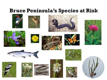 Bruce Peninsula's Species at Risk. Legislation to protect species at risk -Committee on the Status of Endangered Wildlife in Canada (COSEWIC) was created.