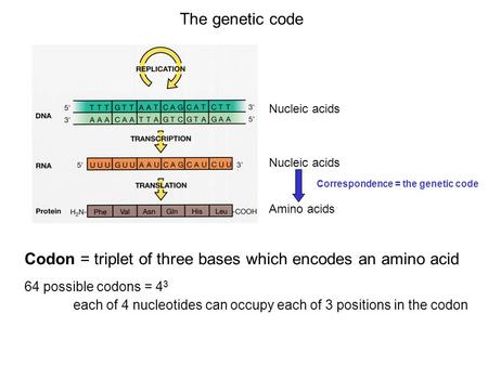 The genetic code Nucleic acids Amino acids Correspondence = the genetic code Codon = triplet of three bases which encodes an amino acid 64 possible codons.