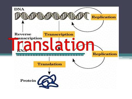 Objective Understand the process of translation Explain how proteins are assembled Analyze the end result (proteins' function and structure)