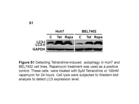 BEL7402Huh7 C Tet Rapa C Tet Rapa LC3-II LC3-I GAPDH Figure S1 Detecting Tetrandrine-induced autophagy in Huh7 and BEL7402 cell lines. Rapamycin treatment.