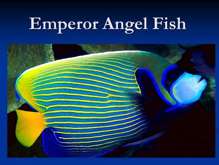 Emperor Angel Fish. Where its Found/ Why people like it. It is mostly found in the indo- pacific region and can be found near the red sea. It can be found.