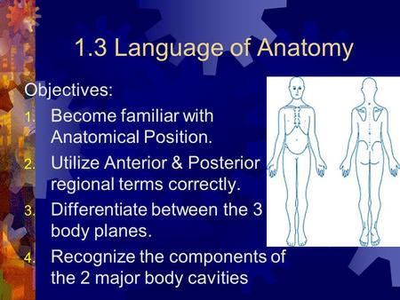 1.3 Language of Anatomy Objectives: 1. Become familiar with Anatomical Position. 2. Utilize Anterior & Posterior regional terms correctly. 3. Differentiate.