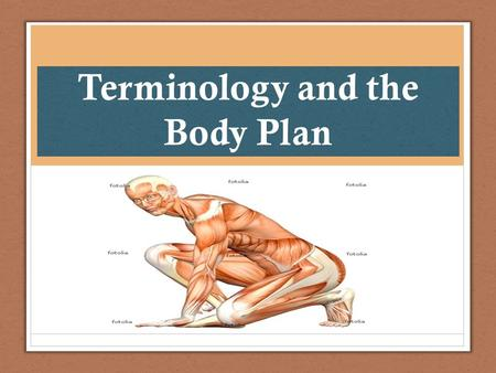 Terminology and the Body Plan. Directional Terms Directional terms refer to the body in the anatomical position Anatomical Position: Person standing erect.