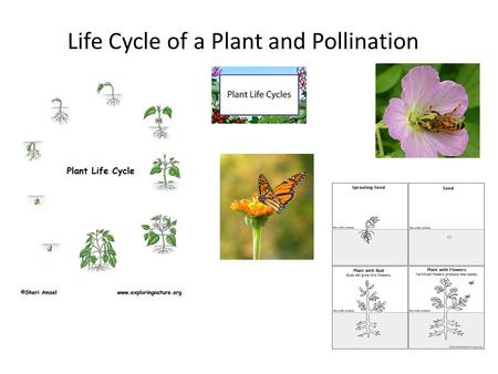 Life Cycle of a Plant and Pollination. Life Cycle of a Plant Plants – seed germination seedling (sprout) --takes in WATER thru roots/produces FOOD in.