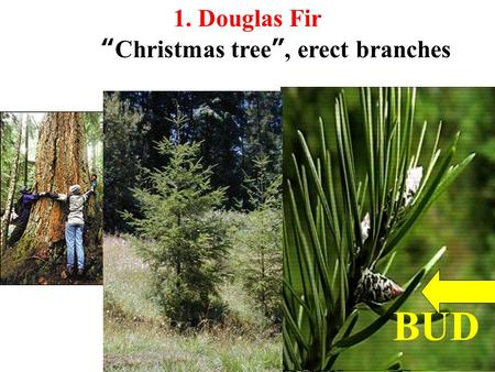 "BUD 1. Douglas Fir ""Christmas tree"", erect branches."