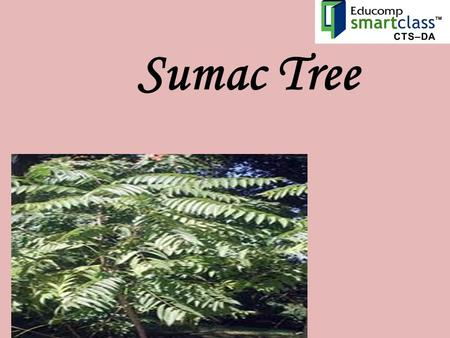 Sumac Tree. Sumacs are shrubs and small trees that can reach a height of 1–10 metres (3.3–33 ft).shrubstrees The leaves are spirally arranged; they.