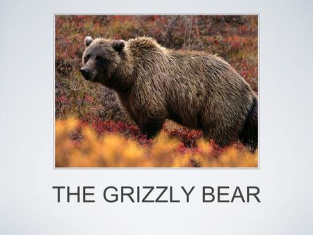 THE GRIZZLY BEAR. BRIEF INFO Sub species of brown bear Endangered Most adult female grizzlies weigh 130– 200 kg (290–440 lb), while adult males weigh.