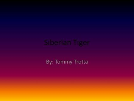 Siberian Tiger By: Tommy Trotta. Introduction Have you ever heard of the Siberian Tiger? It is an endangered animal. In the place it lives they have a.