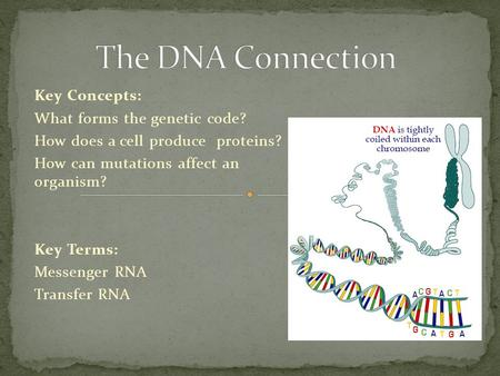 Key Concepts: What forms the genetic code? How does a cell produce proteins? How can mutations affect an organism? Key Terms: Messenger RNA Transfer RNA.