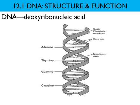 12.1 DNA: STRUCTURE & FUNCTION DNA—deoxyribonucleic acid.
