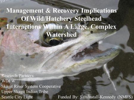 Management & Recovery Implications Of Wild/Hatchery Steelhead Interactions Within A Large, Complex Watershed Research Partners: WDFW Skagit River System.