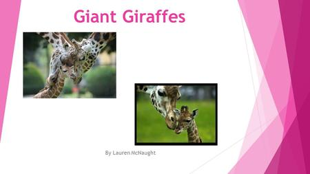 Giant Giraffes By Lauren McNaught Do you know what giraffes eat?  The giraffe is a herbivore they like to eat leaves, leaf buds, fruit, grass, corn.