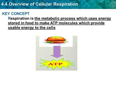 KEY CONCEPT Respiration is the metabolic process which uses energy stored in food to make ATP molecules which provide usable energy to the cells.