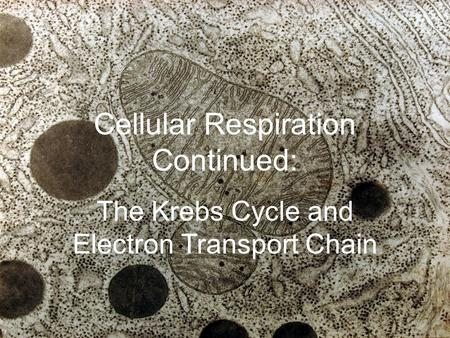 Cellular Respiration Continued: The Krebs Cycle and Electron Transport Chain.