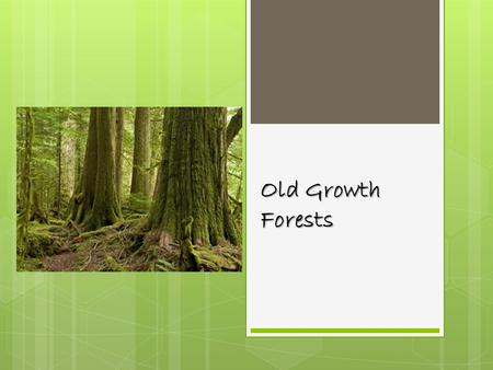 Old Growth Forests. Old Growth forests are diverse places, with young and very old trees, decay and new growth, canopy gaps, uprooted tree, large logs,