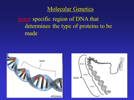 Molecular Genetics gene: specific region of DNA that determines the type of proteins to be made.