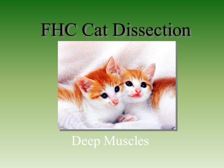 FHC Cat Dissection Deep Muscles. Transect and Reflect the Sartorius and Gracilis Muscles Make Your Cut Here The Cat Is Lying on Its Back!