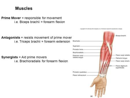 Muscles Prime Mover = responsible for movement
