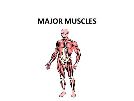 MAJOR MUSCLES. TRAPEZIUS- EXTENDS THE HEAD STERNOCLEIDOMASTOID- ROTATES THE NECK.