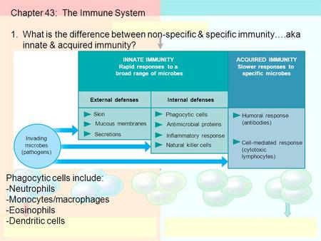 Chapter 43: The Immune System 1.What is the difference between non-specific & specific immunity….aka innate & acquired immunity? INNATE IMMUNITY Rapid.