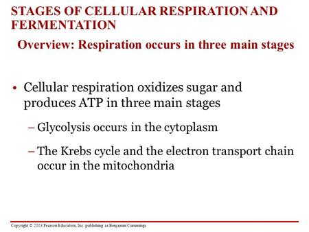 Copyright © 2003 Pearson Education, Inc. publishing as Benjamin Cummings Cellular respiration oxidizes sugar and produces ATP in three main stages –Glycolysis.
