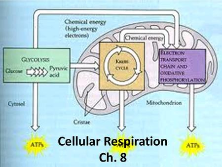Cellular Respiration Ch. 8. How we get Energy from Light Cellular respiration is just a series of steps where energy is transfer between different molecules.
