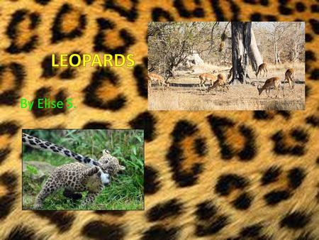 By Elise S.. Table of Contents Introduction Types of leopards A leopards body Food! On the hunt Cubs In danger The hunt of a mother leopard Conclusion.