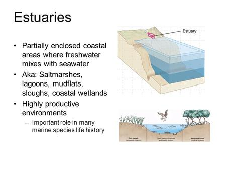 Estuaries Partially enclosed coastal areas where freshwater mixes with seawater Aka: Saltmarshes, lagoons, mudflats, sloughs, coastal wetlands Highly productive.