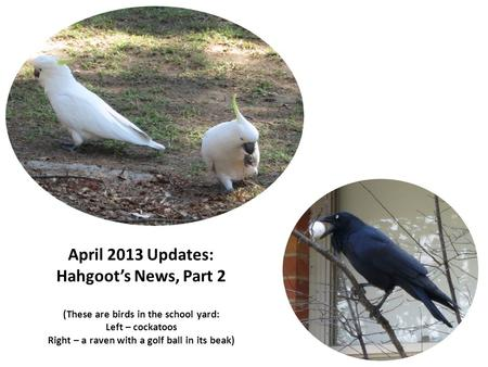 April 2013 Updates: Hahgoot's News, Part 2 (These are birds in the school yard: Left – cockatoos Right – a raven with a golf ball in its beak)