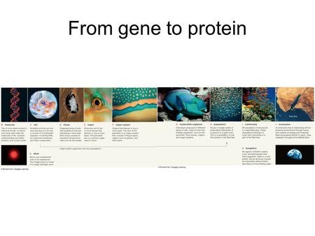 From gene to protein. Our plan: Overview gene expression Walk through the process –Review structure and function of DNA –Transcription –Translation Gene.
