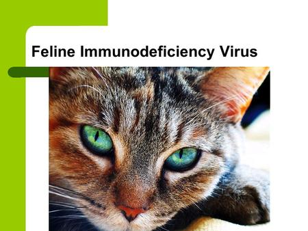 "Feline Immunodeficiency Virus. Feline Immunodeficiency virus (FIV) is classified as a lentivirus (""slow virus"") and is in the retrovirus family. The feline."