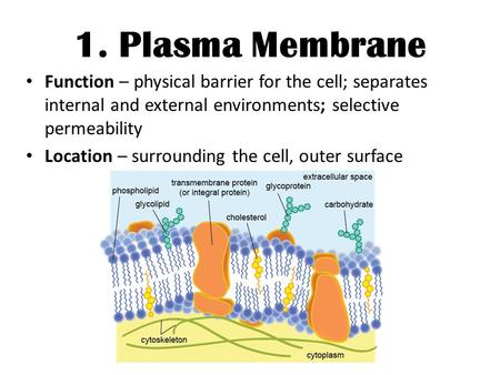 1. Plasma Membrane Function – physical barrier for the cell; separates internal and external environments; selective permeability Location – surrounding.