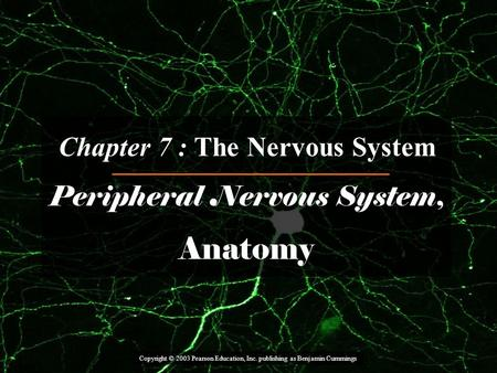 Copyright © 2003 Pearson Education, Inc. publishing as Benjamin Cummings Chapter 7 : The Nervous System Peripheral Nervous System, Anatomy.