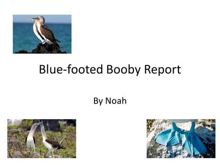 Blue-footed Booby Report By Noah Introduction It's a bird, it's a plane, nope it's a Blue-footed Booby! Hello down there I am a Blue-footed Booby and.