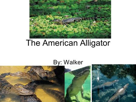 The American Alligator By: Walker. Picture of Animal.