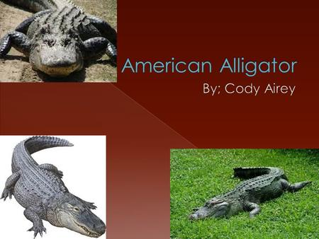  The American alligator eats fish, birds and small mammals until it starts to get larger and then it will eat animals like baby black bears and full.