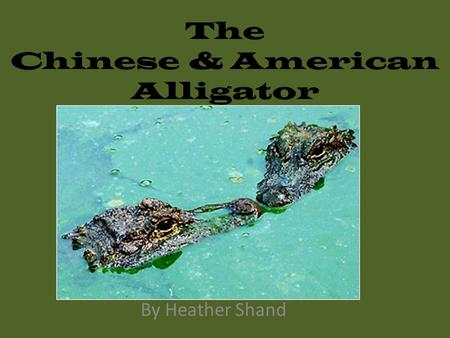 The Chinese & American Alligator By Heather Shand.