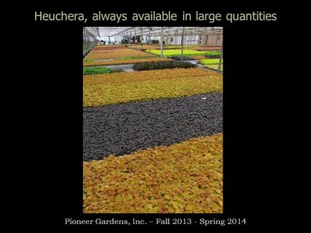 Heuchera, always available in large quantities Pioneer Gardens, Inc. – Fall 2013 - Spring 2014.