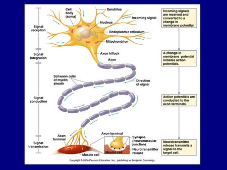 Transmission 1. innervation - cell body as integrator 2. action potentials (impulses) - axon hillock 3. myelin sheath.