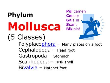 Mollusca (5 Classes) Phylum Gastropoda – Stomach