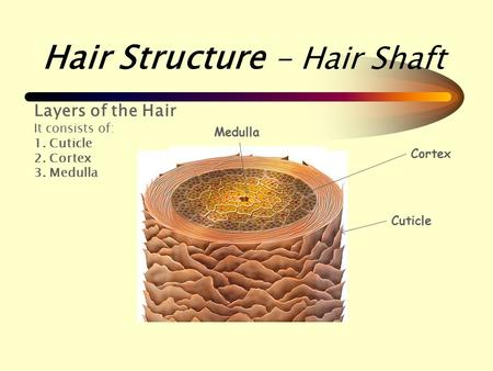 Hair Structure - Hair Shaft